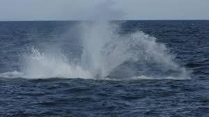 9 26 u2013 cape cod weekend pelagic flight of the scrub jay