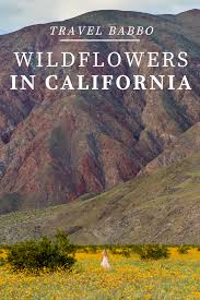 Anza Borrego Wildflowers Super Bloom by Wildflowers In California Witnessing The Super Bloom Travel Babbo