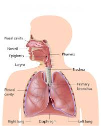 Simple Anatomy And Physiology Anatomy U0026 Physiology Of The Respiratory System Deteriorating