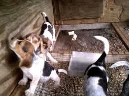 bluetick coonhound beagle blue tick beagle puppies youtube