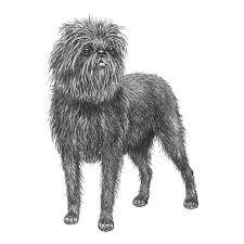 affenpinscher uk breeders affenpinscher pedigreed breeds dogwellnet com