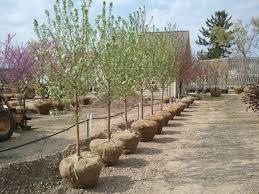 trees shrubs bergman nurseries