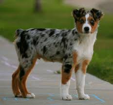 australian shepherd kid friendly the australian shepherd hard working herding dog and friend to