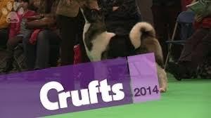crufts australian shepherd 2014 australian shepherd best of breed crufts 2014 music jinni