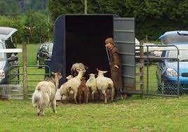 belgian shepherd herding herding bsdcc