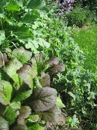 the veggie patch re imagined saving cabbage family seed