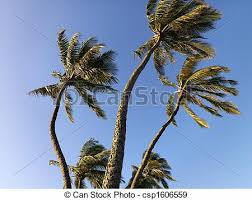 palm trees blowing in wind palm trees against blue sky stock