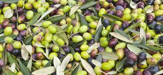 italian olives history of olives the olive s place in history at the table