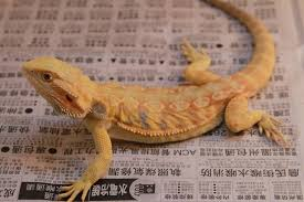 inland bearded dragon u0027s transformed pet trade