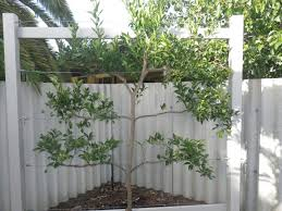 citrus trees landsdale plants