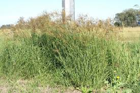 australian native plants pictures and names rhodes grass chloris gayana feedipedia