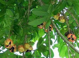 Ackee Fruit Tree - littlejamaica nl