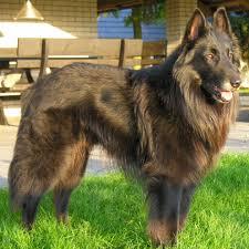 belgian sheepdog intelligence belgian shepherd groenendael breed guide learn about the belgian