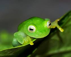 rivet refuge the frogs of costa rica by bruce bradford jones