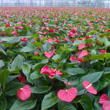 anthurium flower orange journey anthurium plantation in the world s flower