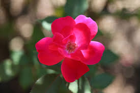 forever roses care of knock out roses tips for growing knock out roses