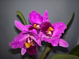 orchid pictures orchid search