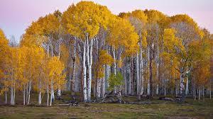 birch tree wallpaper 1920x1080 55053