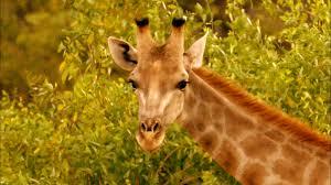 giraffes africa u0027s gentle giants nature pbs