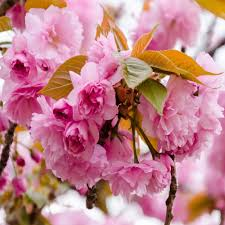 buy prunus kanzan pink ornamental cherry tree 8 10cm girth