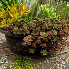 Winter Patio Plants by Over Wintering Your Perennials In Pots Some Tips The Columbian
