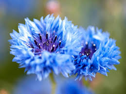 types blue flowers hgtv