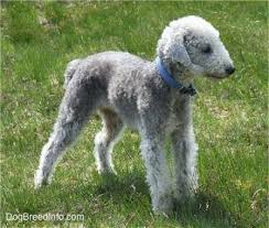 bedlington terrier guard dog bedlington terrier breed and photos and videos list of dogs breeds