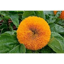 teddy sunflowers buy sunflowers seeds online rarexoticseeds