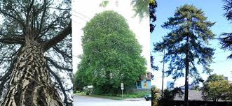 about heritage trees heritage trees of portland the city of