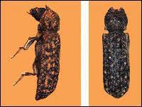 Powder Post Beetles In Hardwood Floors - powderpost beetles get rid of powderpost beetles