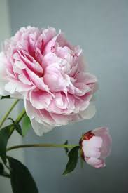 Peony Flowers by Best 25 Peonies Ideas Only On Pinterest Peony Peony Flower And