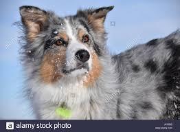 australian shepherd swimming dog frisbee stock photos u0026 dog frisbee stock images alamy
