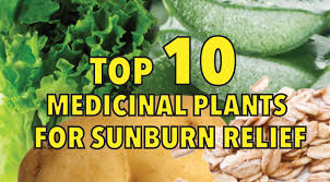 native plants of mexico top 10 medicinal plants for natural sunburn relief
