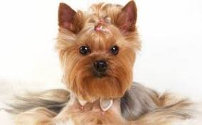 teacup yorkie haircuts pictures yorkie haircuts for males and females 60 pictures yorkie life