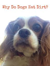why do dogs eat dirt two little cavaliers