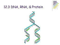 chapter 12 3 dna rna and protein