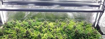 cfl lights for growing weed how to setup a low budget grow room
