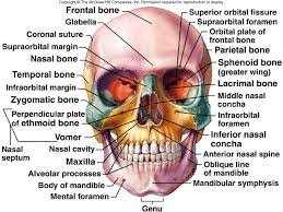 Parts Of Ethmoid Bone Lecture 9 Axial Skeleton I