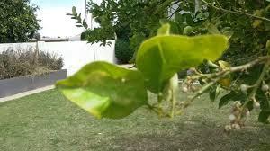 lemon leaves curling and turning yellow mesa az 480 969 8808