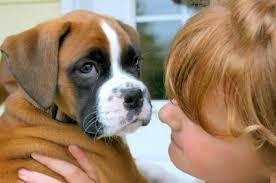 boxer dog utah miniature boxer puppies