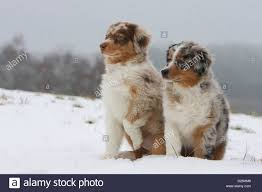 t r australian shepherds australian shepherd two puppies in stock photos u0026 australian