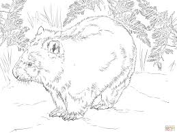 wombat coloring page good realistic wombat coloring page with