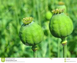 Opium Opium Poppy Heads Stock Photo Image 25898850