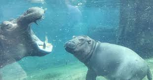 bored at home create your own zoo fiona the hippo playing in the water will make your day in just 81