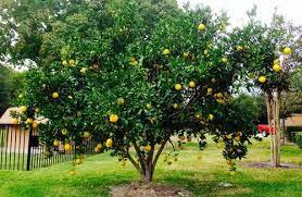 picture of my orange tree