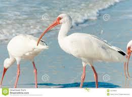 Florida birds images Florida birds stock photo image of florida white flora 12816858 jpg