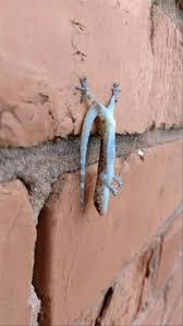 270 best lizards images on pinterest geckos lizards and iguanas