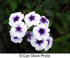 vinca flowers vinca stock photo images 814 vinca royalty free pictures and