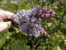 lilacs we sell at azalea house flowering shrub farm