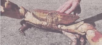 Pleins De Crabe Violonistes Très Histoires De Crabes Lesconilquideau